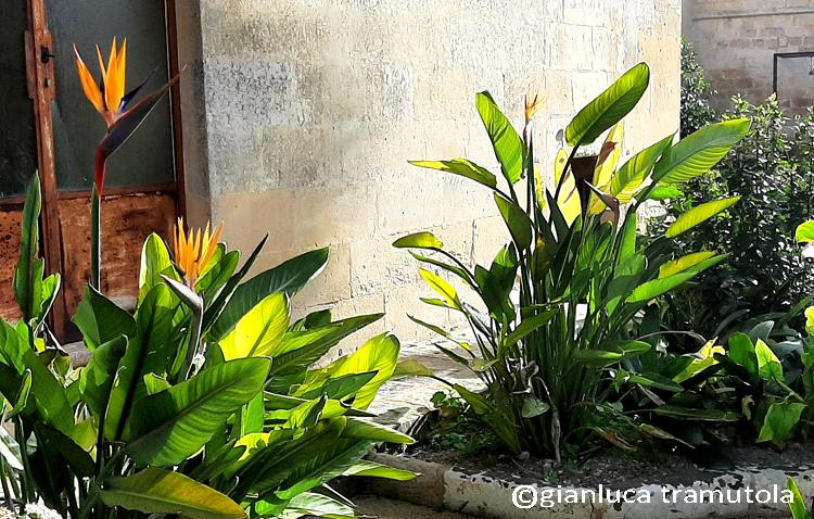 strelizia planting design