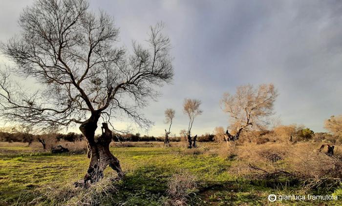 Xylella fastidiosa apulia olive trees